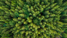 Pristine Spruce Forest Aerial View. Green Nature Background Of Fir-tree Tops.  Drone Photo From Directly Above Position