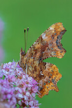 Comma Butterfly - Polygonia C-album, Beautiful Brushfoot Butterfly From European Fields And Meadows, Zlin, Czech Republic.