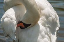 Close Up Of A Mute Swan Or Cygnus Olor Preening Under The Sun