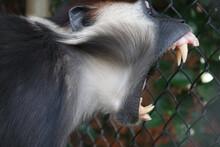 Monkey Showing Its Teeth