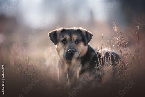 Fototapeta A large male mixed breed dog with one eye sitting among dry grass and looking di