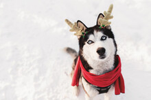 Christmas Husky Dog In Red Scarf, Deer Horns, Santa Attire In Snowy Forest