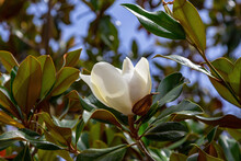 Beautiful White Magnolia Flower On A Background Of Green Foliage And Blue Sky. Close-up