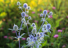 Eryngium Planum - Wild Herb Plants Growing On Meadow