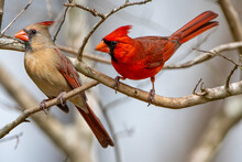 Northern Cardinal Mates Perched On Bare Branches In Louisiana