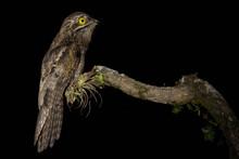 Urutau-Tagschläfer In Der Nacht (Common Potoo | Nyctibius Griseus) Costa Rica