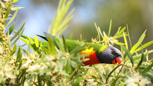Close Up Of The Brightly Colored Australian Native Parrot The Rainbow Lorikeet Set Among Leaves. This Beautiful Bird Is Eating Or Drinking Nectar From The Callistemon Or Bottle Brush Tree Flower