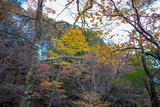 Fototapeta Na ścianę - 静岡県の天城山の紅葉の季節の登山道 Mt. Amagi Mountain Trail in Shizuoka Prefecture during the Fall Foliage Season