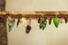 Various Kinds Of Cocoons On Wooden Logs In An Artificial Hatchery.