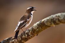 White-browed Sparrow-weaver, Plocepasser Mahali, Brown And White Bird Sittong On Branch In The Nature Habitat, Lake Awasa, Etiopia In Africa. Shrike From Dark Green Forest, Wildlife Nature. Open Bill.