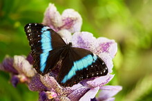 Morpho Achilles, Big Black Blue Butterfly Sitting On The Pink Violet Orchid In The Nature Habitat, Tropic Jungle Forest In Colombia. Achilles Morpho Or Blue-banded Morpho, Is A Neotropical Butterfly.