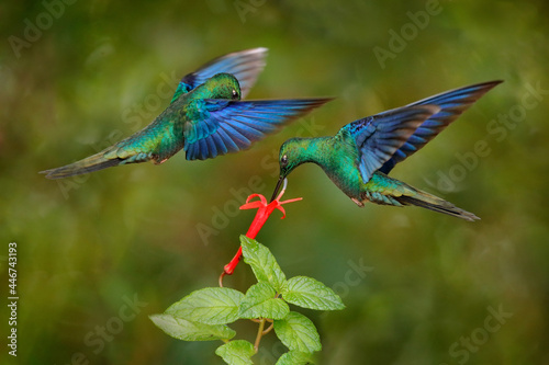 Fototapeta premium Ecuador wildlife. Great sapphirewing, Pterophanes cyanopterus, big blue hummingbird, Yanacocha, Pichincha in Ecuador. Bird sucking nectar from red flower bloom, nature behaviour.