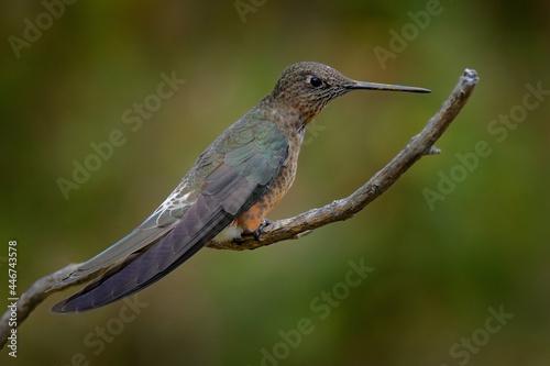 Fototapeta premium Giant hummingbird, Patagona gigas, bird sitting on branch in the nature mountain habitat, Antisana NP, Ecuador. Birdwatching in South America. Largest hummingbird in the world, clear green background.