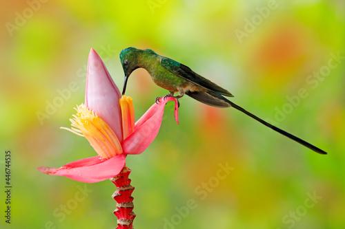 Fototapeta premium Tropic wildlife. Wild nature bird. Hummingbird Long-tailed Sylph, Aglaiocercus kingi with orange yellow flower. Hummingbird from Ecuador in the bloom flower, wildlife from tropic jungle.