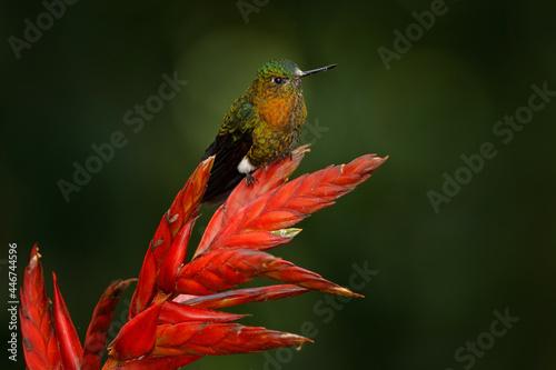 Fototapeta premium Golden-breasted puffleg, Eriocnemis mosquera, hummingbird on red flower bloom in the dar tropic forest, Yanacocha in Ecuador. Shiny bird in the nature habitat.