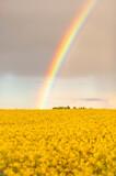 Fototapeta Rainbow - Rainbow, tęcza, rzepak, 2021, Polska, Poland