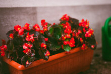 Vibrant Red Impatiens Walleriana Plant In A Flowerpot, After Rain