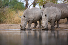 A Crash Of White Rhino, Ceratotherium Simum, Drink Together At A Waterhole