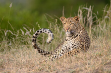 A Leopard, Panthera Pardus, Lies In Short Grass, Tail Curled Up