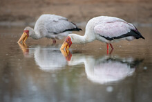 Two Yellow Billed Storks, Mycteria Ibis, Fishes For Frogs