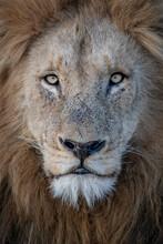 A Portrait Of A Male Lion, Panthera Leo, Direct Gaze