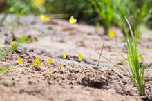 A Flock Of Broad-Bordered Grass Yellows Butterflies, Eurema Brigitta
