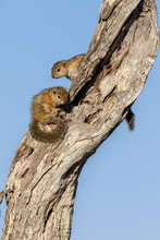 Two Tree Squirrels, Paraxerus Cepapi, Sit On A Branch, Blue Sky Background