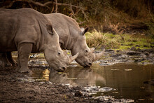 Two White Rhino, .Ceratotherium Simum, Drink From A Waterhole