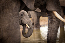 An Elephant, Loxodonta Africana, Drinks Water At A Waterhole, Trunk To Mouth, Other Elephants Framing