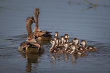 Two Adult Egyptian Geese, Alopochen Aegyptiaca, Swim Their Their Goslings Following Them