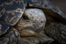 The Head Of A Leopard Tortoise, Stigmochelys Pardalis, Reclining Into Its Shell