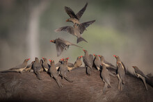 A Flock Of Red Billed Oxpeckers, Buphagus Erythrorhynchus, Stand On The Back Of And Fly Off A Bufallo, Syncerus Caffer
