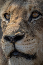 The Face Of A Male Lion, Panthera Leo, Looking Out Of Frame.