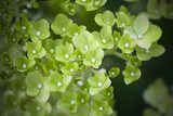 Fototapeta Konie - Green hydrangea flowers, macro photo