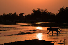A Lioness, Panthera Leo, Walks Across A River At Sunset, Silhoutted.
