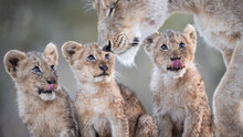 Lion Cubs, Panthera Leo, Sit Together And Look Up At Their Mother