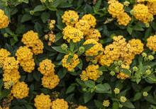 Blooming Yellow Lantana Flower Bush