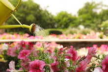 Irrigating Blooming Pink Petunias With Yellow Watering Can Outdoors