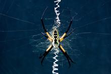 Black And Yellow Garden Spider In Zig Zag Web Against A Dark Background