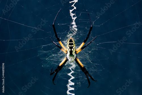 Canvastavla Black and yellow garden spider in zig zag web against a dark background