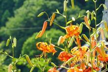 夏に咲くオニユリ