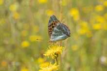 Silver-washed Fritillary (Argynnis Paphia) Ventral View. Warm Summer Meadow In Background.