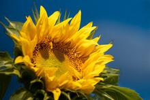 Sunflower Against A Blue Sky Background