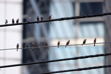 Big Group Of Java Sparrow (Lonchura Oryzivora) On Electric Cable In Big Town . Thailand