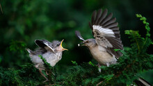 Mockingbird Feeding