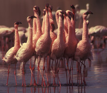 Group Of Beautiful Flamingos In The Pond On A Sunny Day