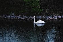 A Wild Beautiful Swan Swims Alone In A Pond. White Swan On The Pond. A Majestic Wild Bird.