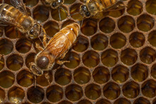 Queen Bee, Honey Bee Hive, Barwick, Georgia