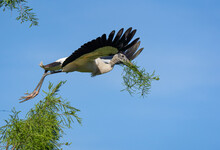 A Wood Stork Bringing Nesting Material To His Nest