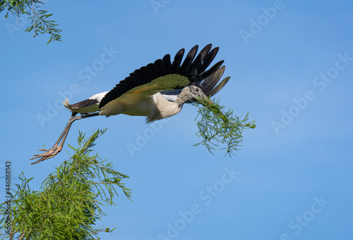 Canvas Print A wood stork bringing nesting material to his nest